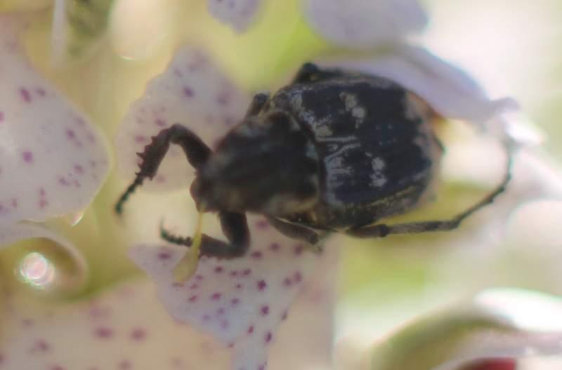 Première Neotinea lactea à Balma Img_4910