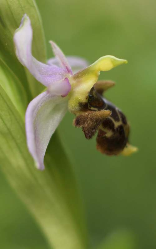 Ophrys scolopax Img_4918