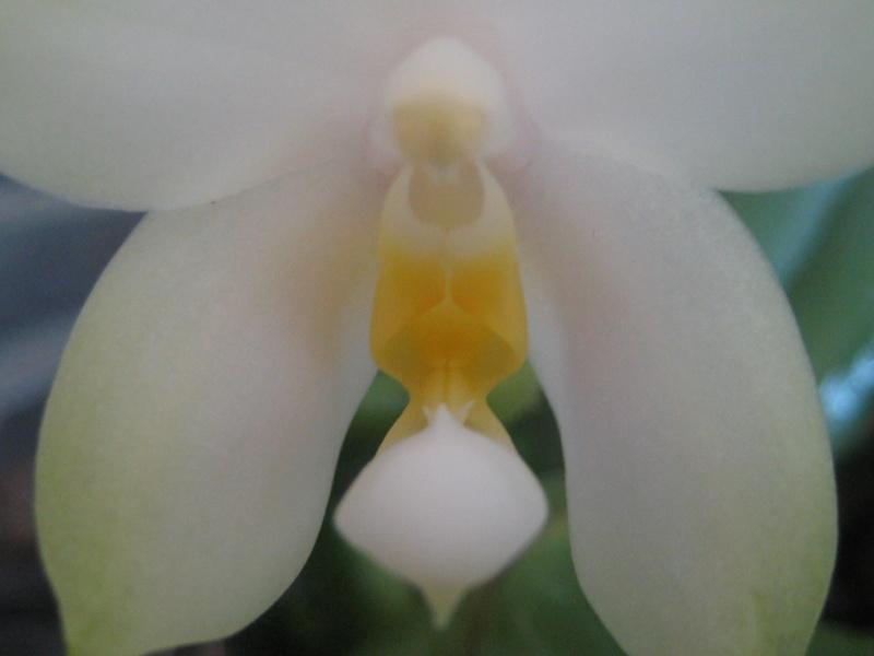 Mes phalaenopsis Img_0815