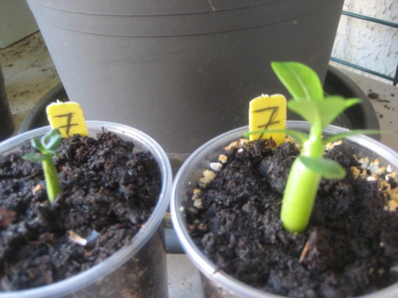 Différence plantules adenium Img_0836
