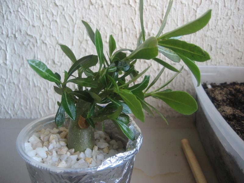 Mes plantules issues de mes semis Img_1341