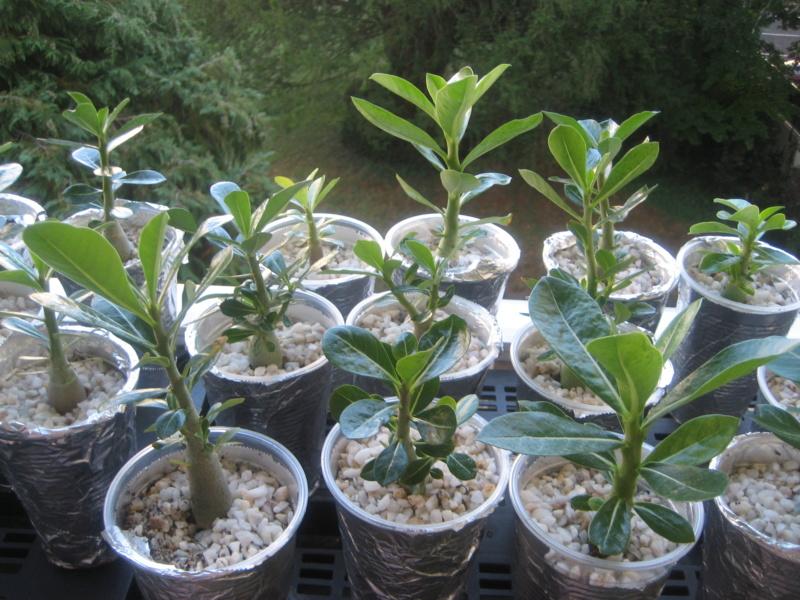 Mes plantules issues de mes semis Img_1344