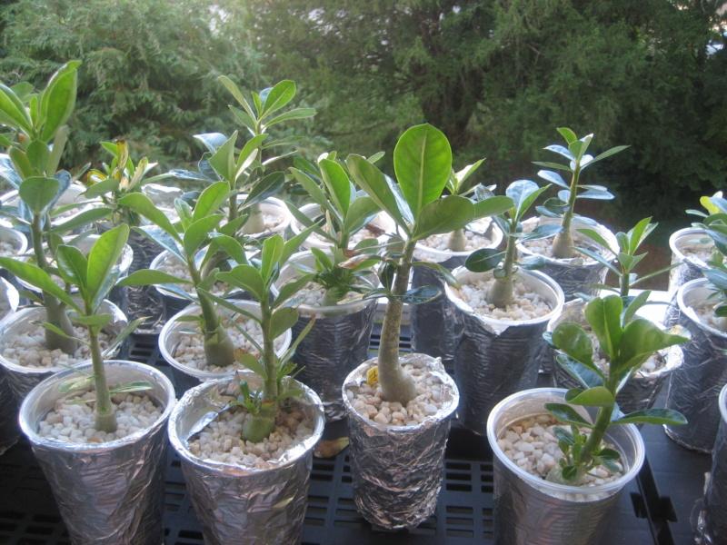 Mes plantules issues de mes semis Img_1345