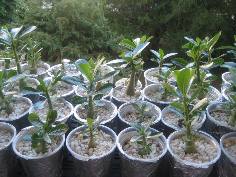 Mes plantules issues de mes semis Img_1348