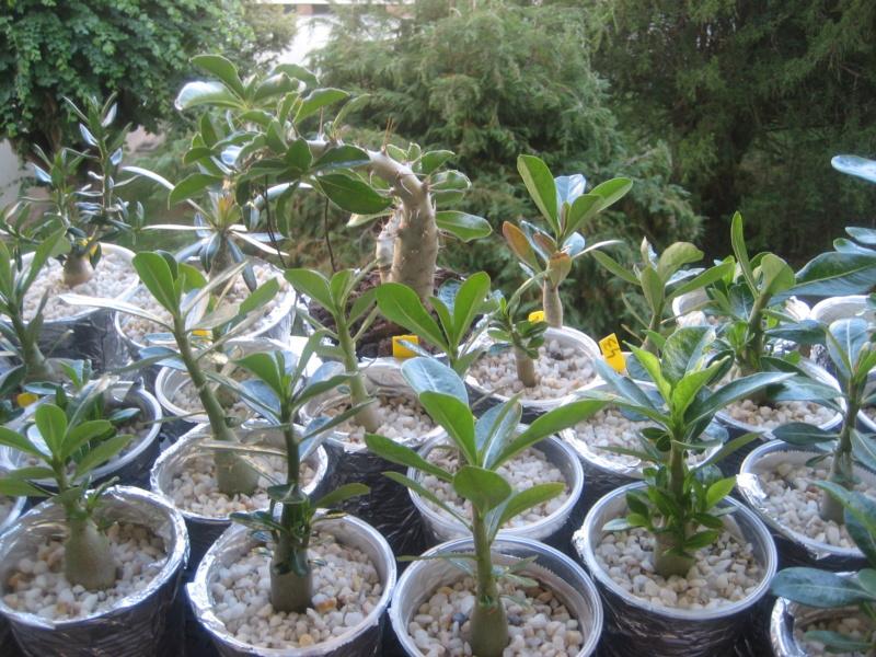 Mes plantules issues de mes semis Img_1350