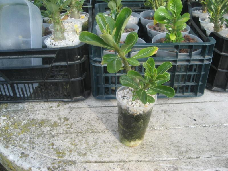 Mes plantules issues de mes semis Img_1419