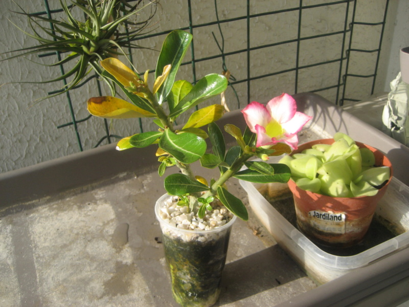 Mes plantules issues de mes semis Img_1431