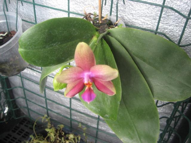 phalaenopsis refloraison Img_1666