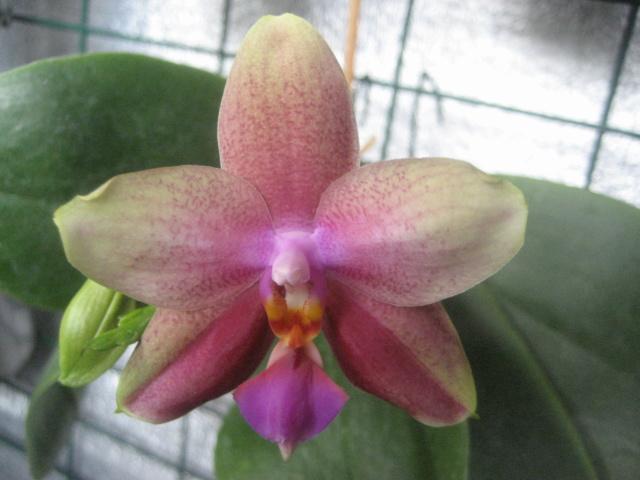 Orchidée en refloraison.  Img_1668