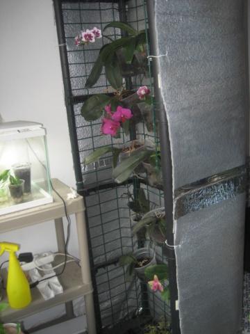 Orchidée en refloraison.  Img_1670