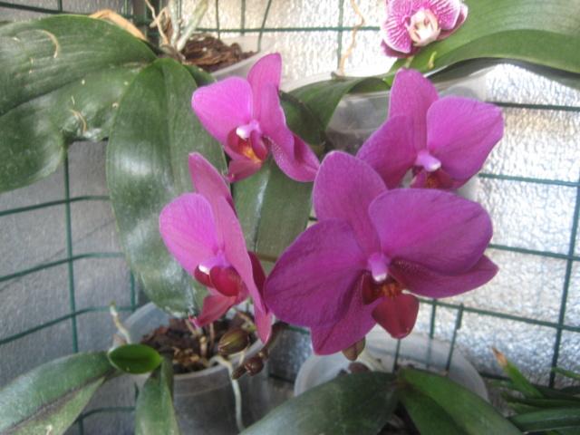 Orchidée en refloraison.  Img_1674