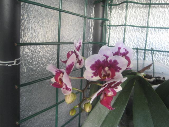 Orchidée en refloraison.  Img_1676