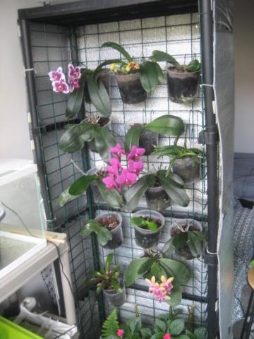 Orchidée en refloraison.  Img_1742