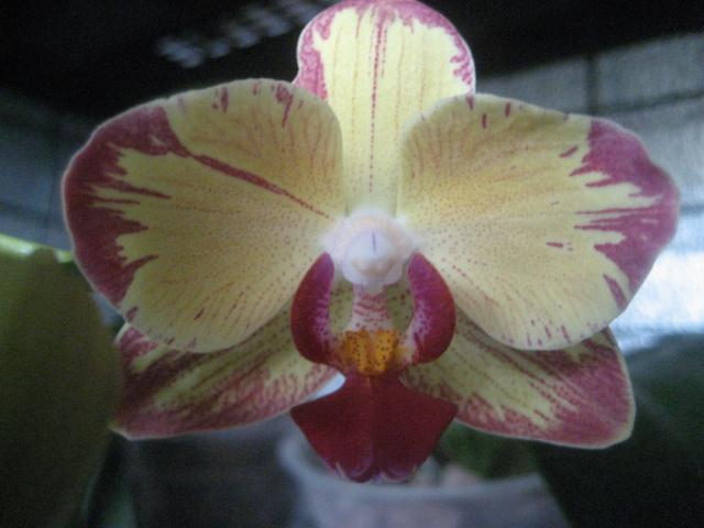Orchidée en refloraison.  Img_1743