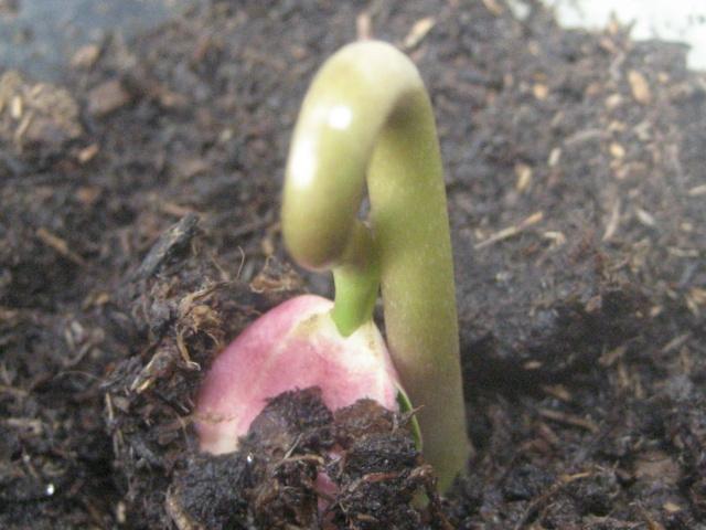 Semi jatropha podagrica Img_1772