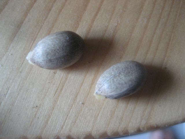 Semi jatropha podagrica Img_1784