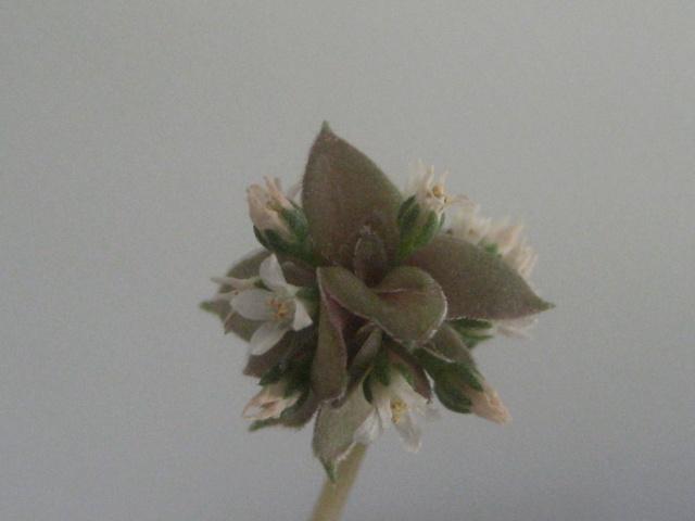Crassula rosularis Img_1945