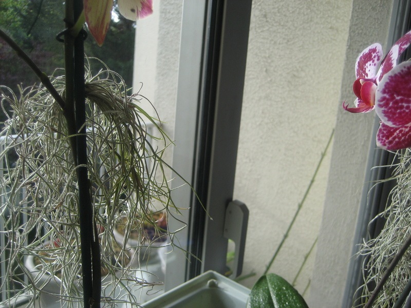 Tillandsia usneoides fleur et bouton Img_9831