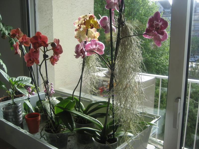 Tillandsia usneoides fleur et bouton Img_9833