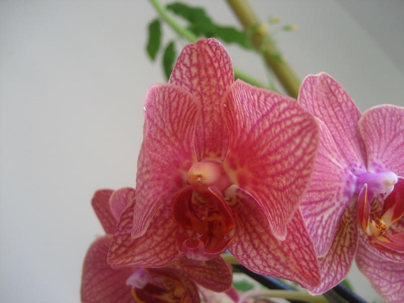 Pollinisation phalaenopsis   Img_9920