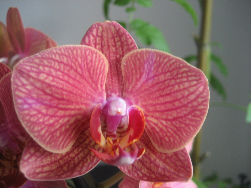 Pollinisation phalaenopsis   Orch_012