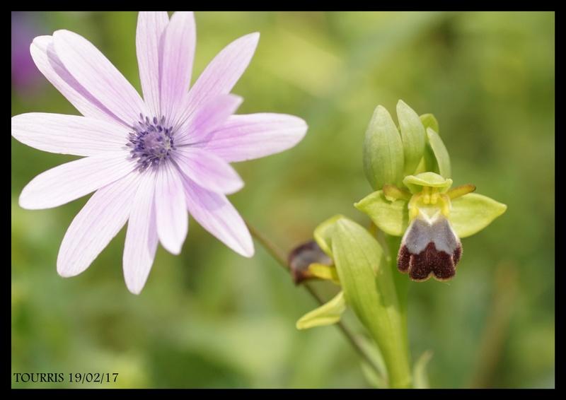 LA VALETTE DU VAR les floraisons progressent Dossie10