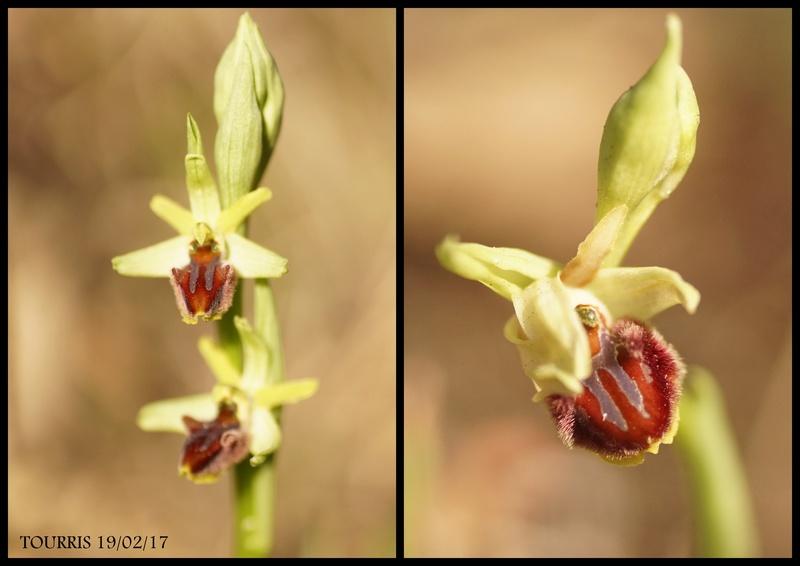LA VALETTE DU VAR les floraisons progressent Dossie11