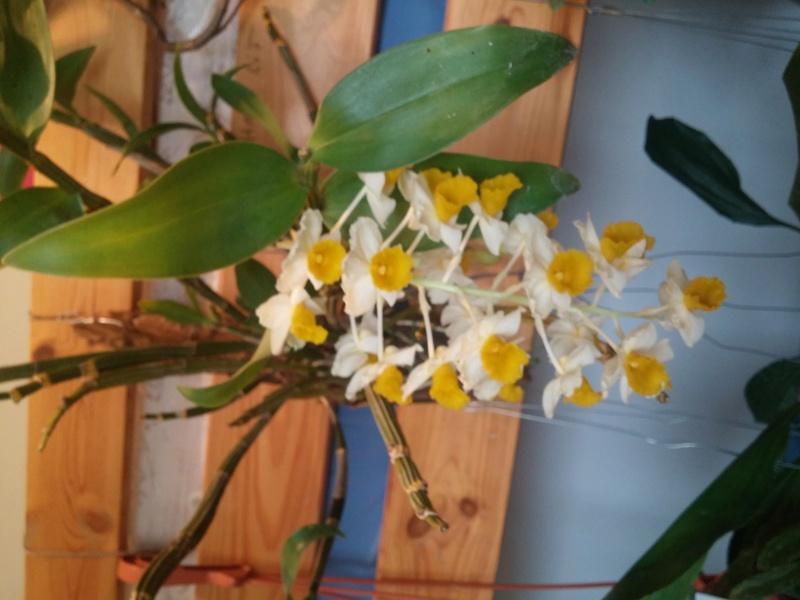 Dendrobium thyrsiflorum 20170415