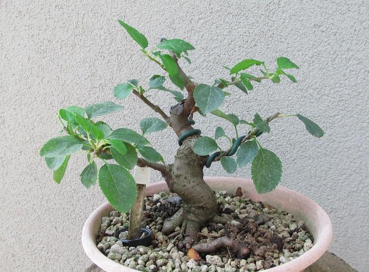 Come iniziare a bonsai un Melo nato da seme Melo_s11