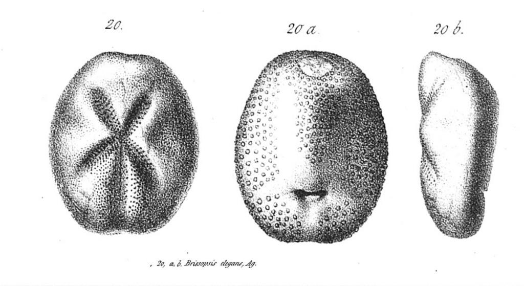 Brissopsis Brisso10