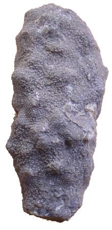 Esponjas eoceno Eurete10