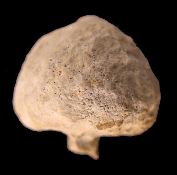 Quels sont ces fossiles du toarcien Magnol10