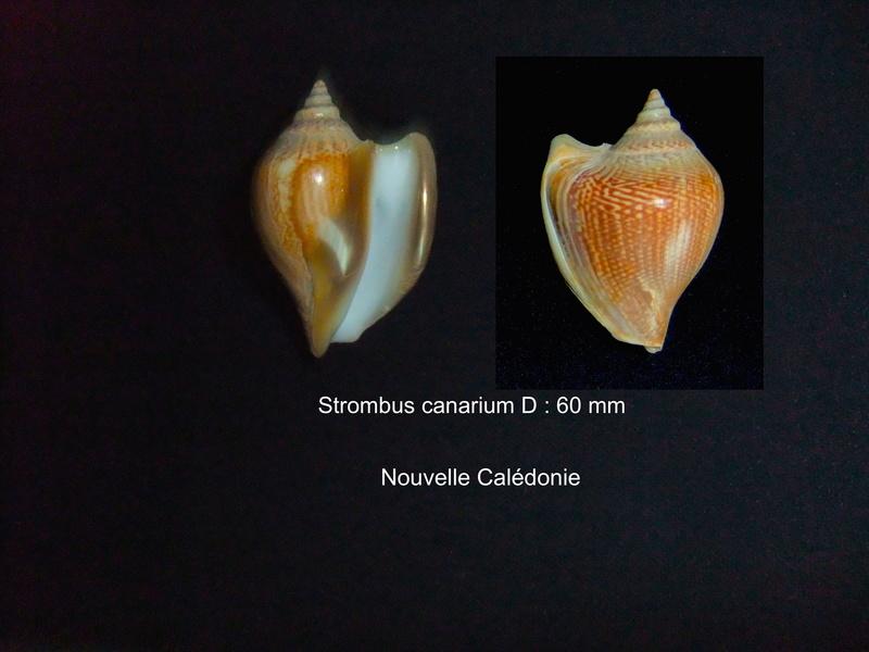 Laevistrombus canarium - (Linnaeus, 1758) Stromb16