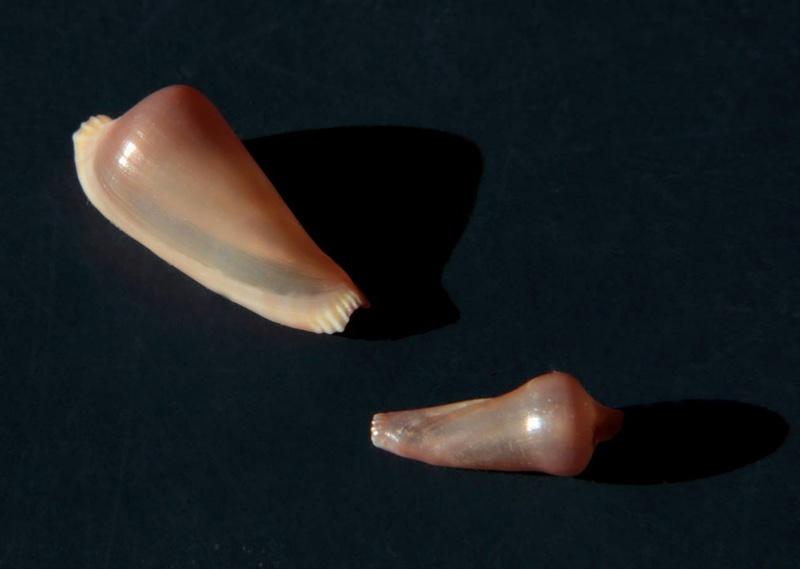 Archivolva clava - (Habe, 1991) 17505310