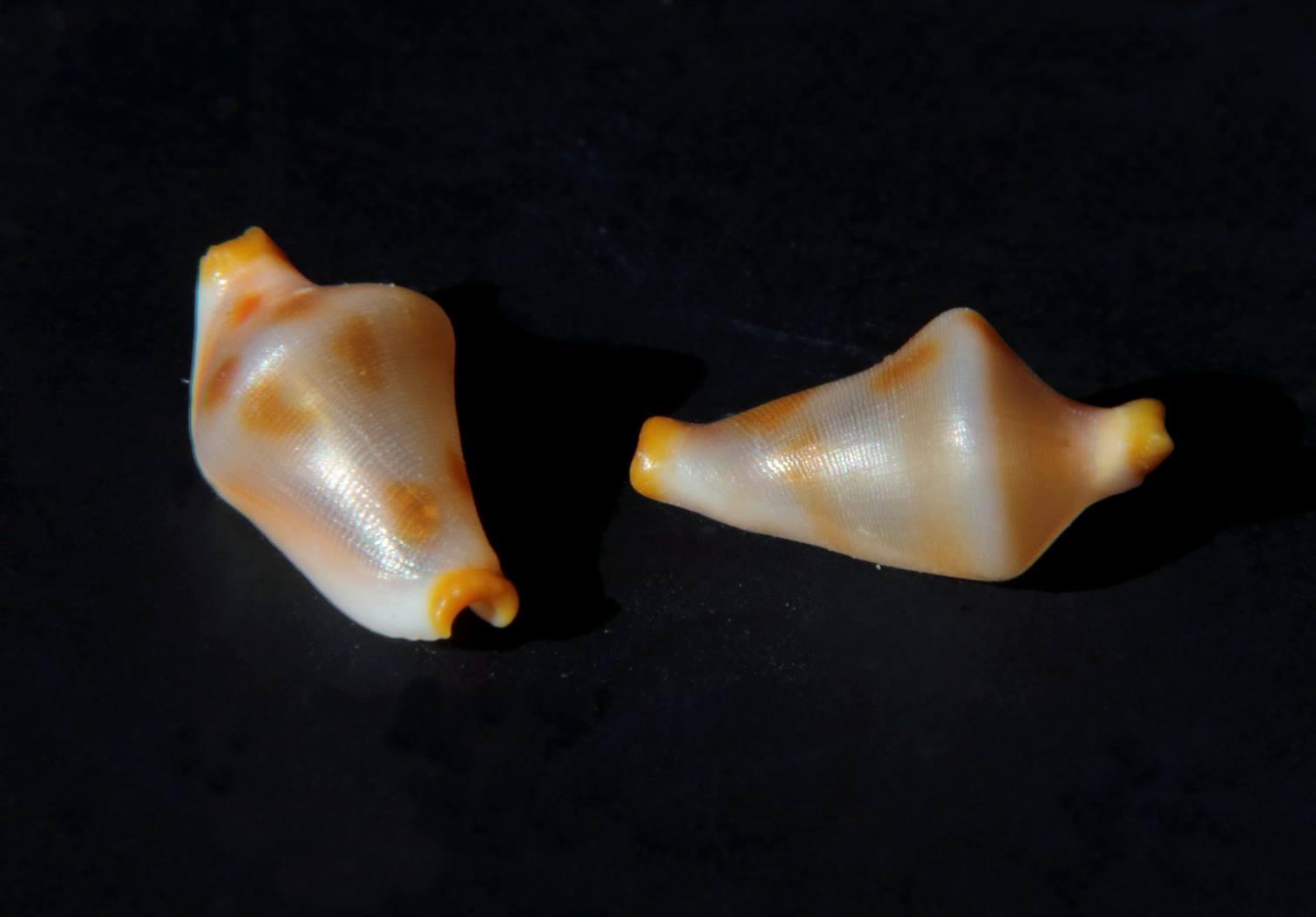 Rotaovula septemmacula - (Azuma, 1974) Ovulid10