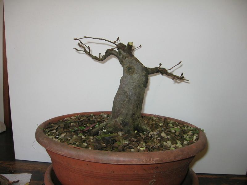 wip carpinus betulus (aggiornamento a pagina 2) - Pagina 2 Img_0011