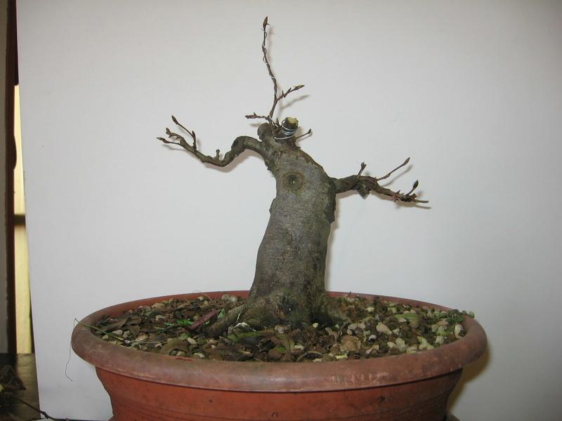 wip carpinus betulus (aggiornamento a pagina 2) - Pagina 2 Img_0012