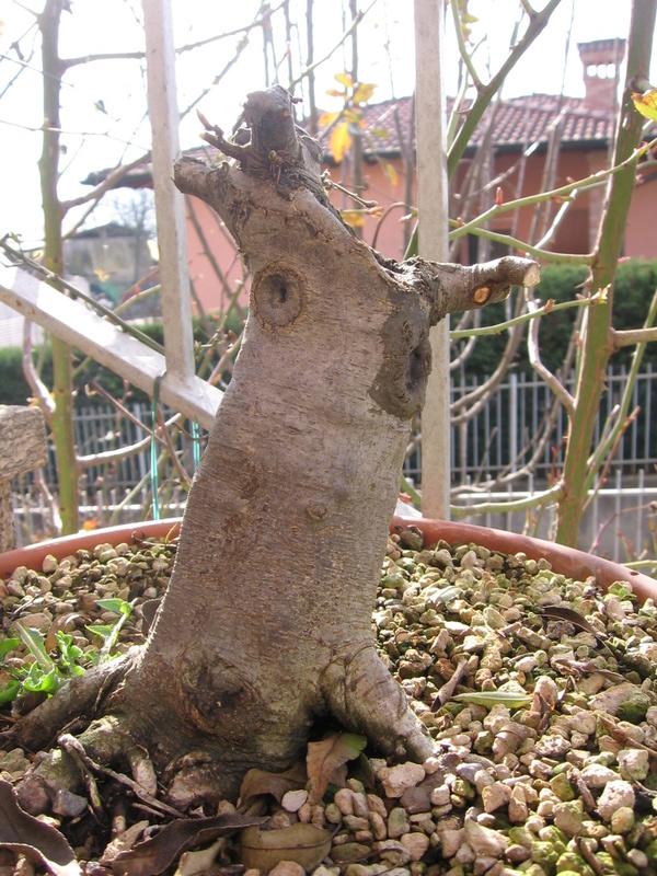 wip carpinus betulus (aggiornamento a pagina 2) - Pagina 2 Img_0019
