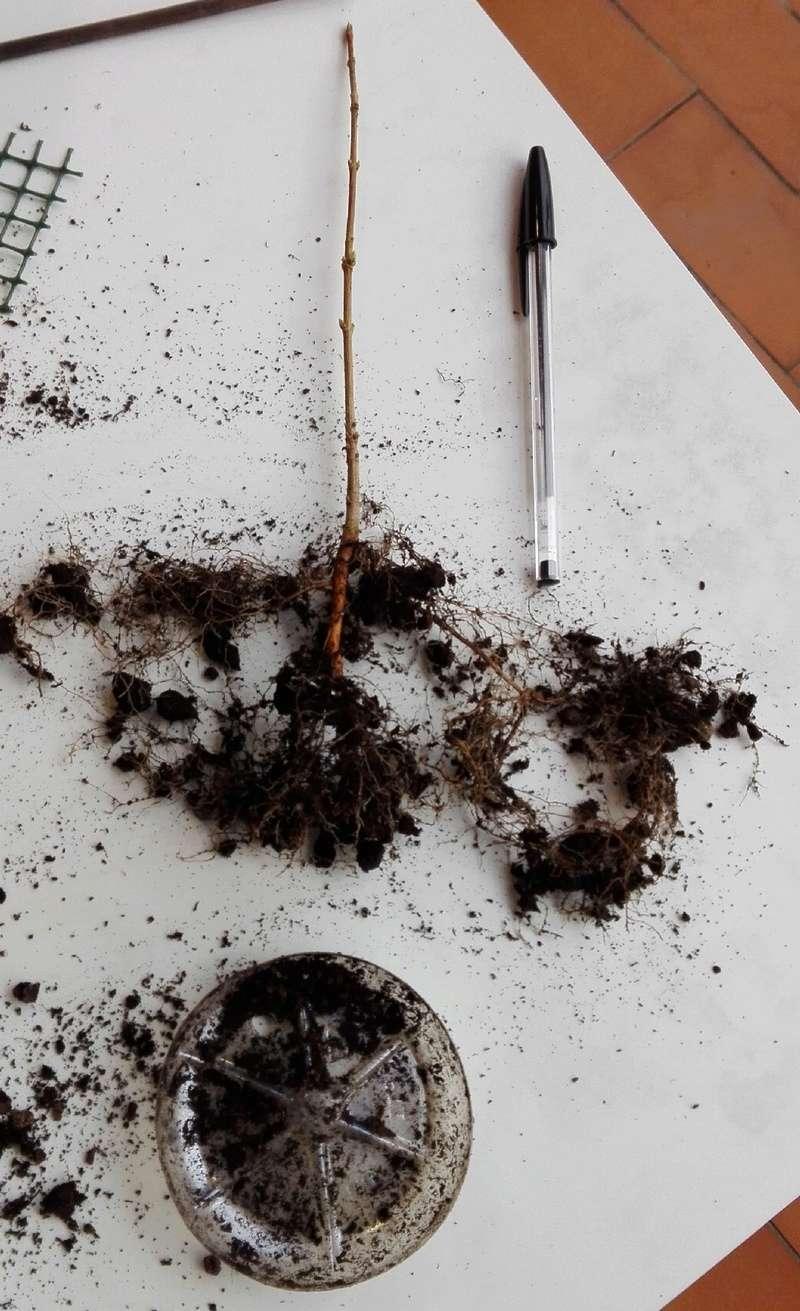 I miei aceri da seme (e da margotta) - Pagina 4 Acero010