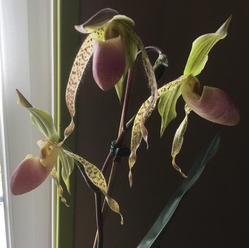 Floraison des orchidées de juin à........... - Page 4 Img_2517
