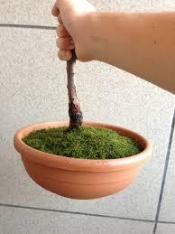 """primo """"bonsai"""" di ulivo - Pagina 2 Images10"""