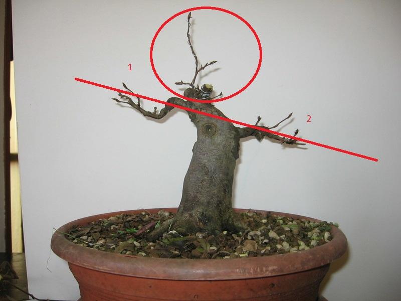 wip carpinus betulus (aggiornamento a pagina 2) - Pagina 2 Img_0010