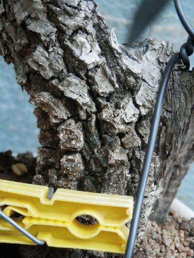 Il mio secondo olivastro -- olivastrino shoin sardo P4110111