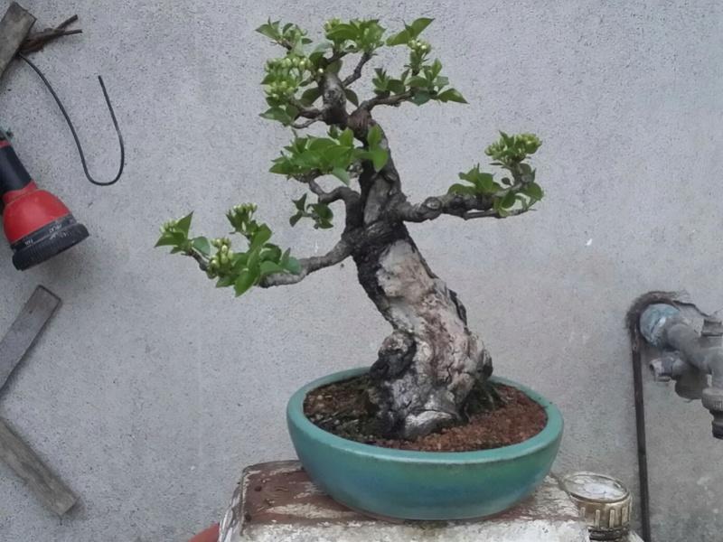 [WIP] Prunus mahaleb shoin - Pagina 3 20170317