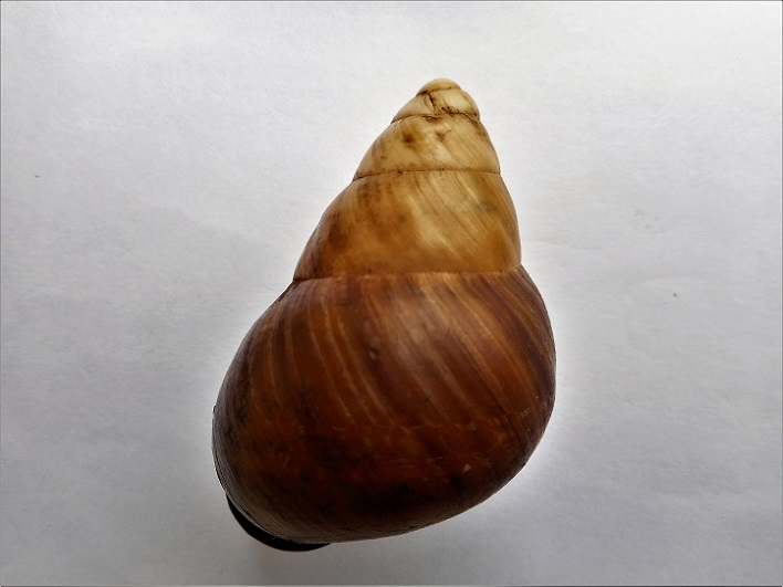 Helicostyla pithogaster f. ?? Dscn0128