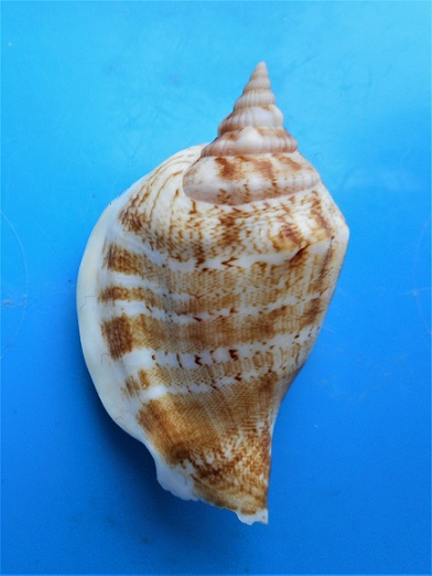 Dolomena hickeyi - (Willan, 2000) Dscn0225