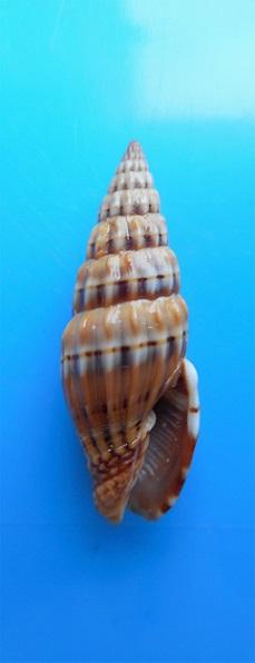 Vexillum semifasciatum - (Lamarck, 1811)  Dscn9517