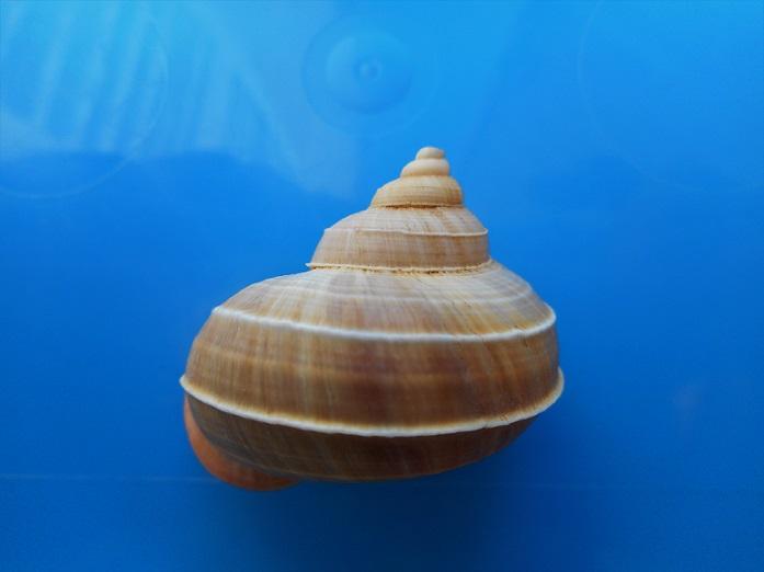 Tropidophora tricarinata var. bicarinata (Sowerby 1843) Dscn9520