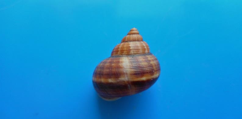 Tropidophora consocia (Pfeiffer, 1848) Dscn9717