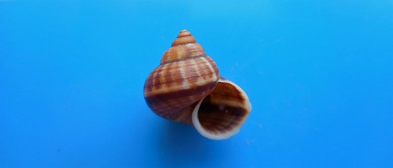 Tropidophora consocia (Pfeiffer, 1848) Dscn9718